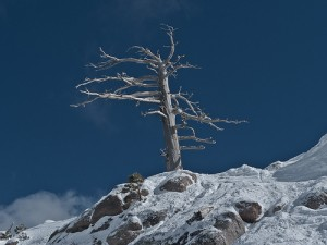 Dead Tree - One of the locals favorite ski runs at Squaw